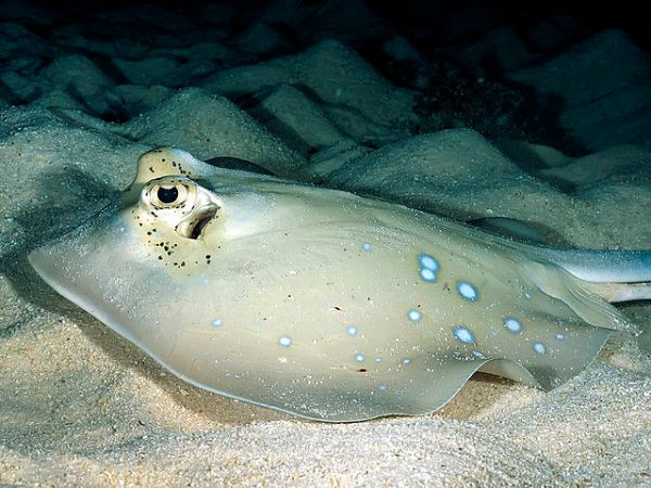 640px-Bluespotted_stingray_papua_new_guinea