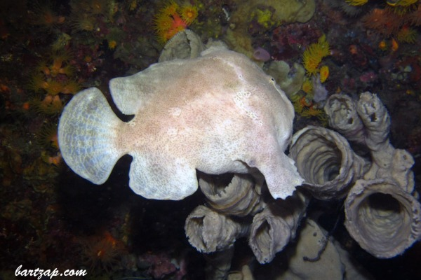 Frogfish-(Antennarius commerson)