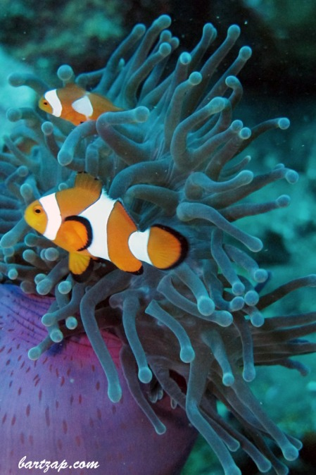 Ocellaris Clownfish with Purple Anemone